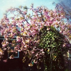 kirsebærtræiblomst