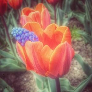 Tulipan og bl¨å