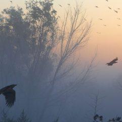 cropped-ravens-in-flight1.jpg