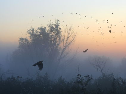 ravens-in-flight