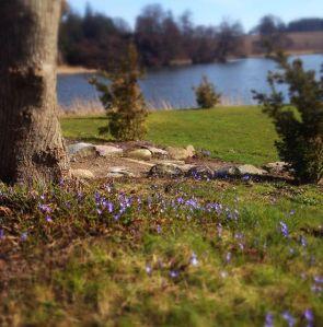 Anemoner ved søen