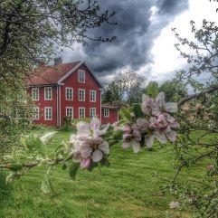 Blomstring_æbletræ