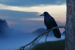 raven_imbolc