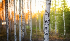 birch-trees_birk