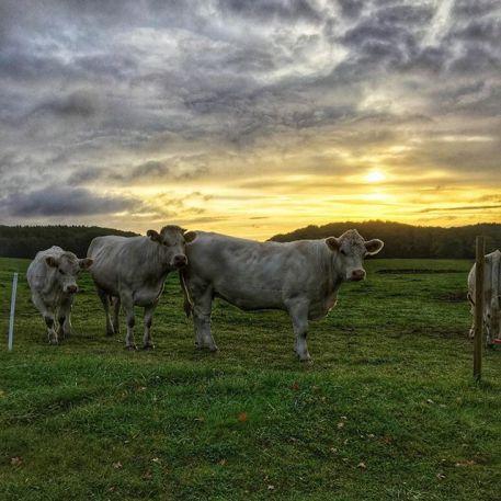 Køer sverige morgen 2