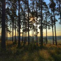træer morgen sverige