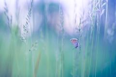 Sommerfugl_blå