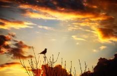 Blackbird dusk