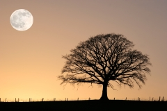 Winter oak and full moon