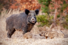 Wild boar, sus scrofa, family in nature with sow and small stripped piglets. Herd of animals in nature. Family concept.