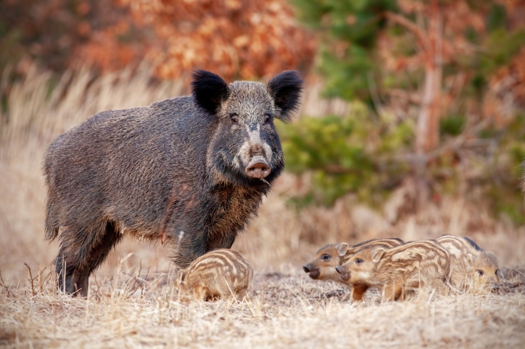 Wild boar family in nature with sow and small stripped piglets.