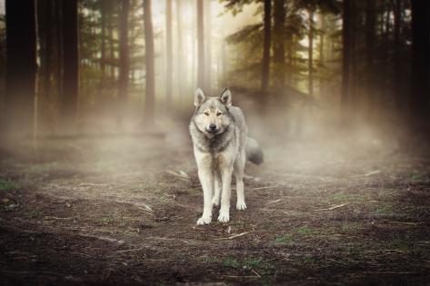 Wolf_woods