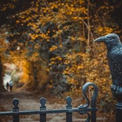 Gate Park Raven