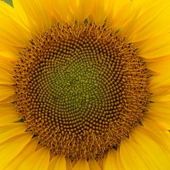 The spiral part of the center of a sunflower flower close-up background