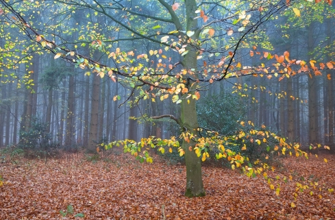 beech tree in autumn foggy forest
