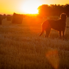 Gray Irish wolfhound looks at the rising sun. Dog on the background of dawn. Image with soft selective focus in backlight.
