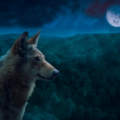 Grey Alpha Wolf During Full Moon Night in the Wilderness.