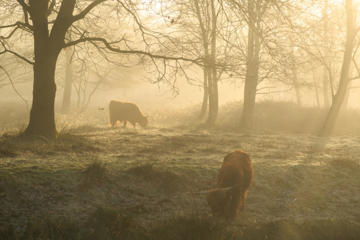 Highland cattle in the forest during a foggy sunrise.