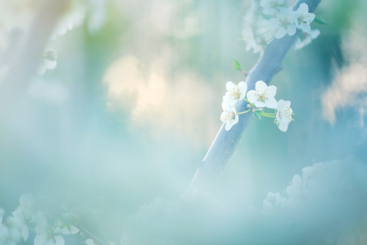 Mirabeller blomstrer