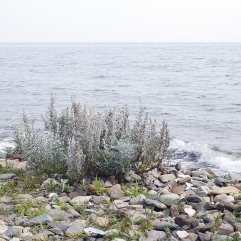 Mugwort Beach